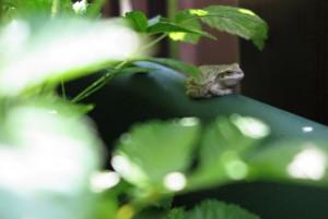 ベランダの住人 カエル