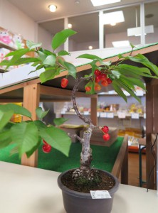 さくらんぼの盆栽