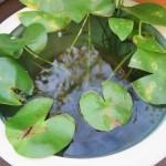 1日外で庭仕事♪ 睡蓮鉢のお水を換えました♪