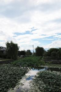 松本城のお堀の睡蓮