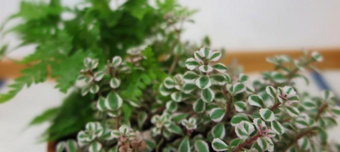 初めての寄せ植えに挑戦 観葉植物の寄せ植えを作りました
