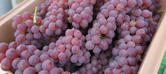 葡萄の季節♪ 美味しい葡萄を買いに